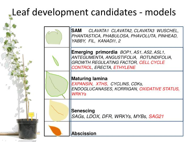 Leaf development candidates - models