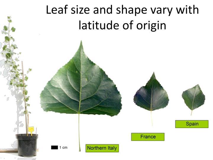 Leaf size and shape vary with latitude of origin