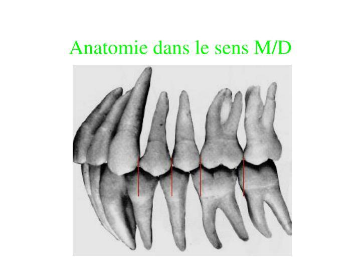 Anatomie dans le sens M/D
