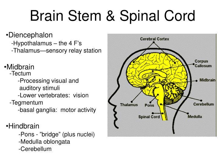 Brain Stem & Spinal Cord
