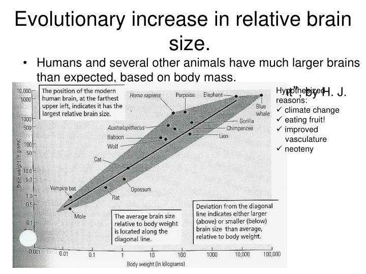 Evolutionary increase in relative brain size.