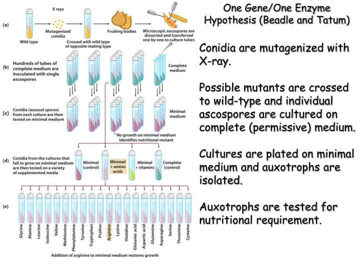 One Gene/One Enzyme Hypothesis (Beadle and Tatum)