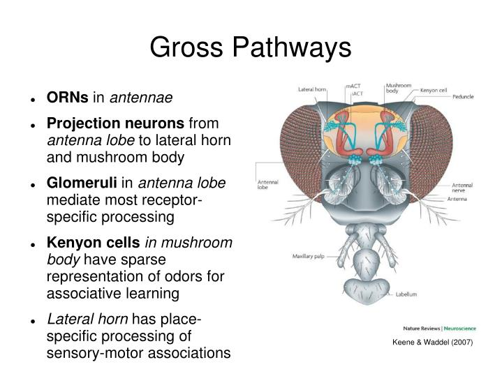 Gross pathways