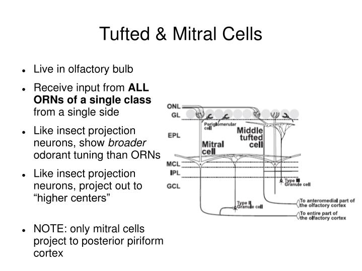 Tufted & Mitral Cells