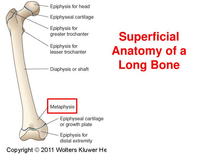Superficial Anatomy of a Long Bone