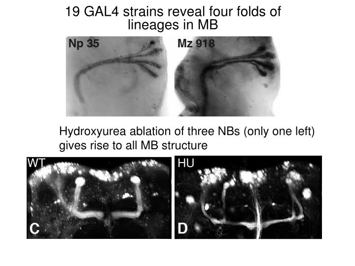 19 GAL4 strains reveal four folds of lineages in MB