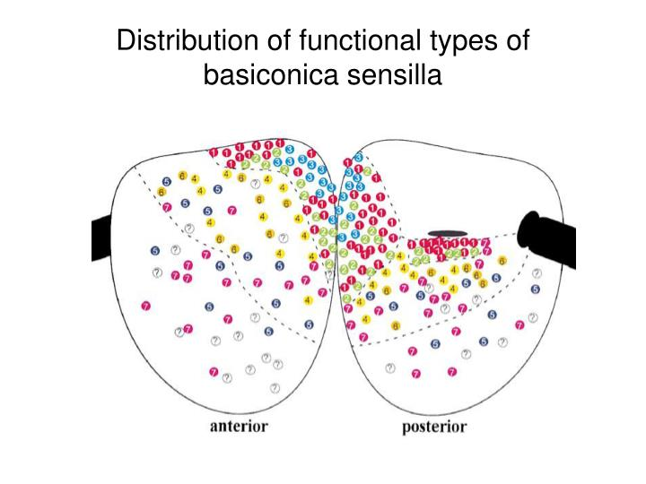 Distribution of functional types of basiconica sensilla