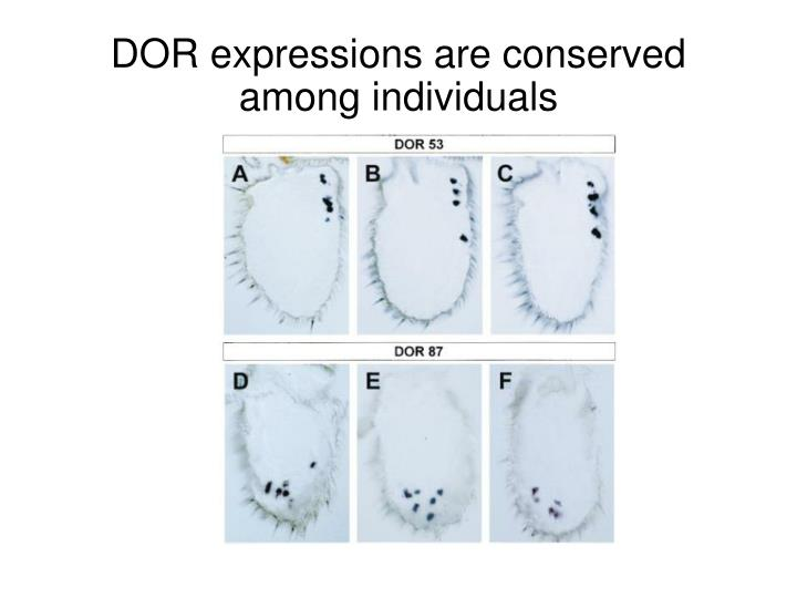 DOR expressions are conserved among individuals