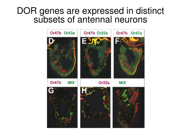 DOR genes are expressed in distinct subsets of antennal neurons