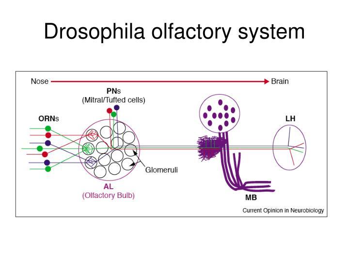Drosophila olfactory system