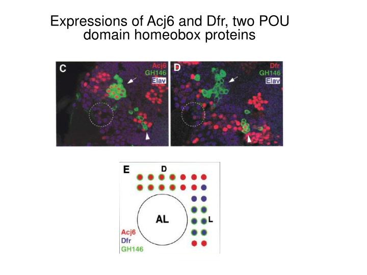 Expressions of Acj6 and Dfr, two POU domain homeobox proteins