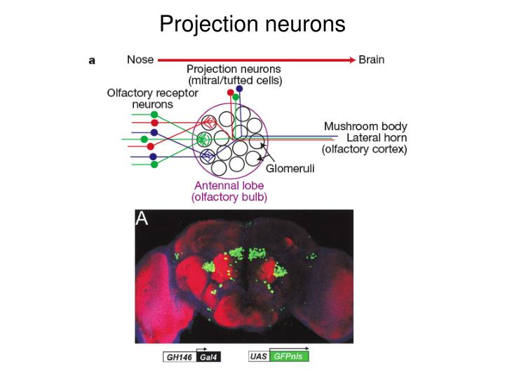 Projection neurons