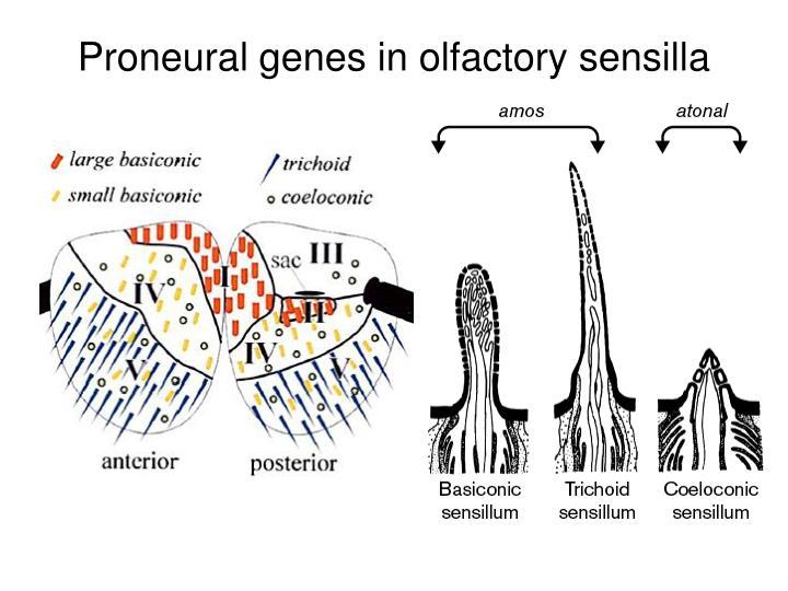 Proneural genes in olfactory sensilla