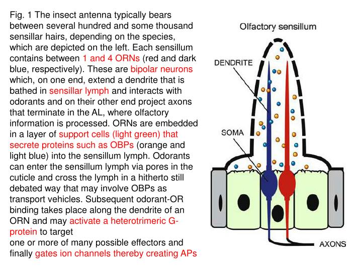 Fig. 1 The insect antenna typically bears between several hundred and some thousand sensillar hairs, depending on the species, which are depicted on the left. Each sensillum contains between