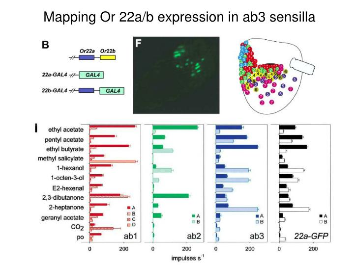 Mapping Or 22a/b expression in ab3 sensilla