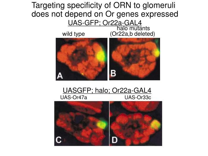 Targeting specificity of ORN to glomeruli does not depend on Or genes expressed