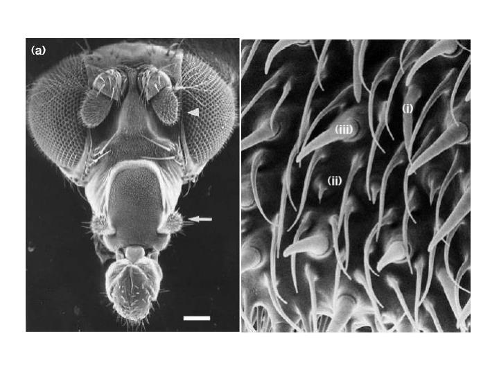 Olfactory system and mb development