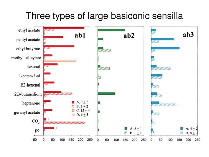 Three types of large basiconic sensilla