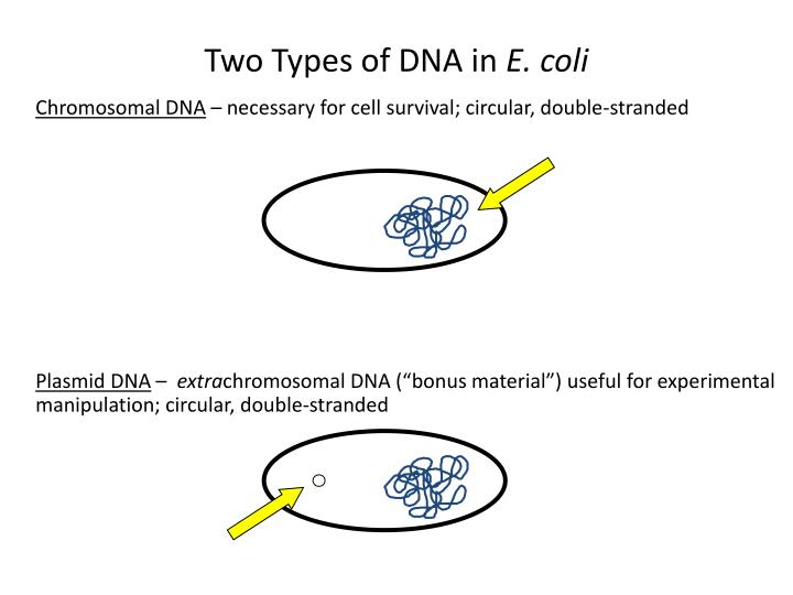 Two Types of DNA in