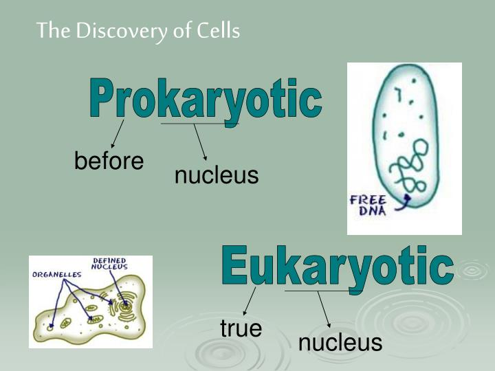 the discovery of the cell nucleus