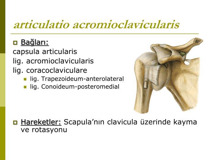 articulatio acromioclavicularis