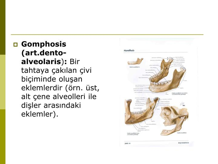 Gomphosis (art.dento-alveolaris