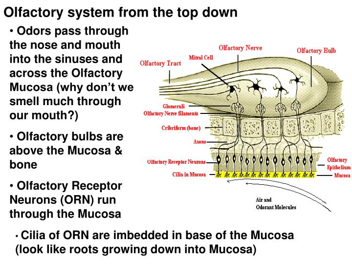 Olfactory system from the top down