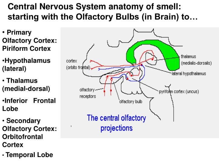 Central Nervous System anatomy of smell: starting with the Olfactory Bulbs (in Brain) to…
