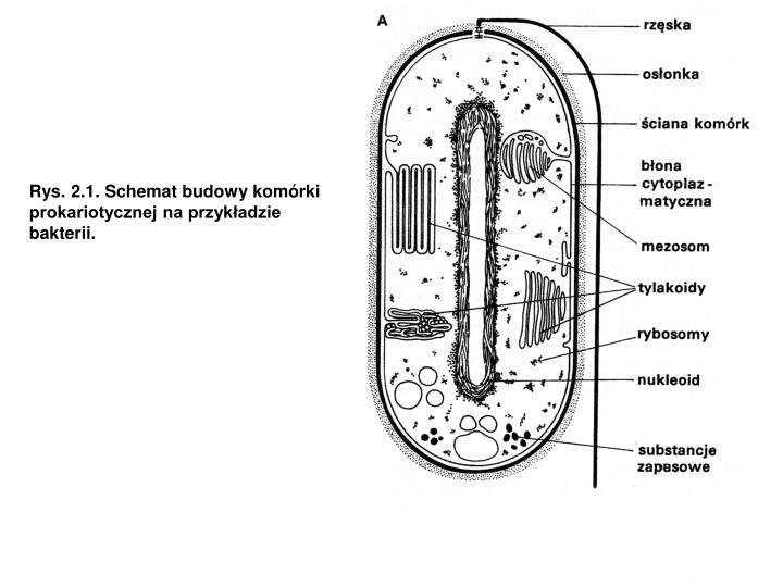 Rys. 2.1. Schemat budowy komórki prokariotycznej na przykładzie bakterii.