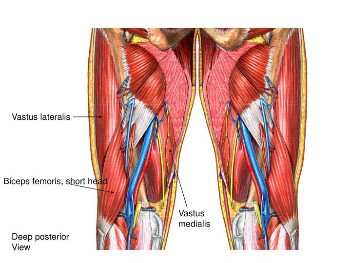 Vastus lateralis