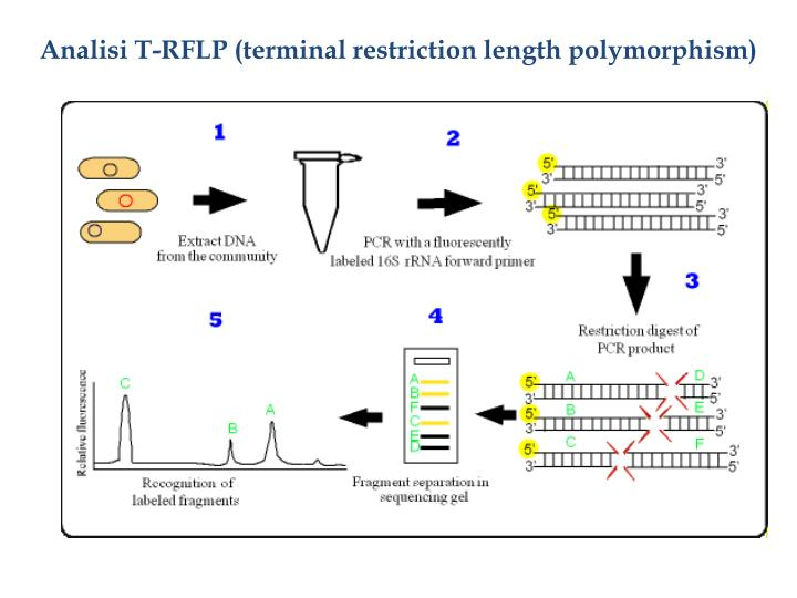 Analisi T-RFLP (terminal restriction length polymorphism)