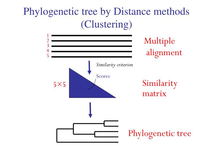 Phylogenetic tree by Distance methods (Clustering)