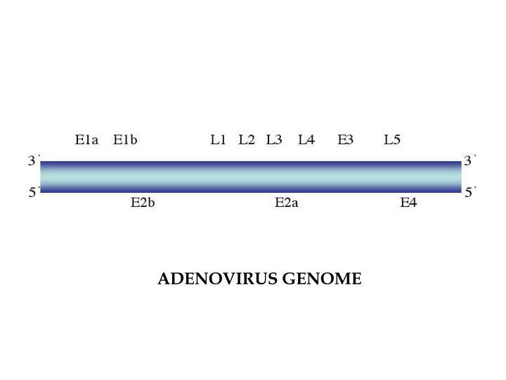 ADENOVIRUS GENOME