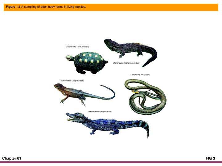 Figure 1 3 a sampling of adult body forms in living reptiles