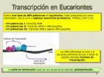 transcripci n en eucariontes