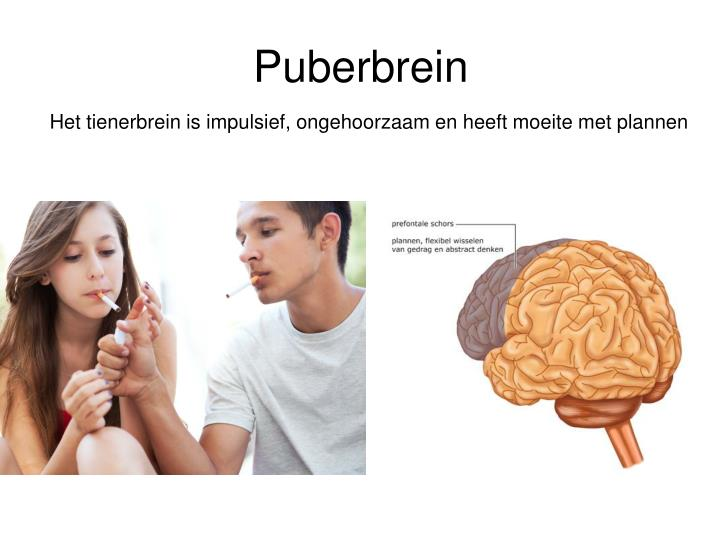Puberbrein