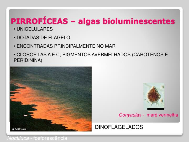 Pirrof ceas algas bioluminescentes