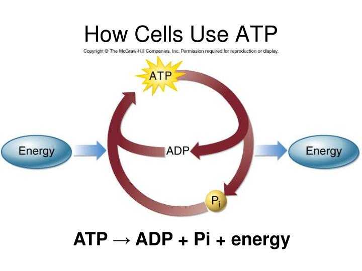 How Cells Use ATP