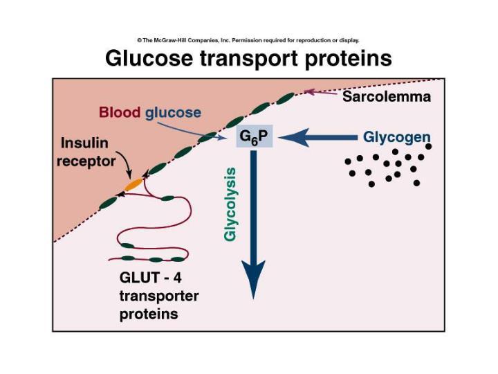 GLUT proteins
