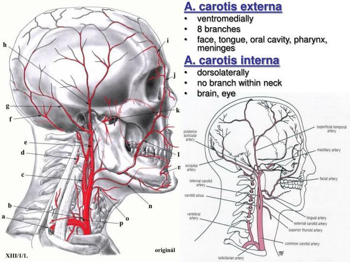 ppt - arterial system systema arteriarum powerpoint presentation