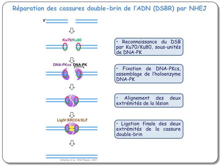 Réparation des cassures double-brin de l'ADN (DSBR) par NHEJ