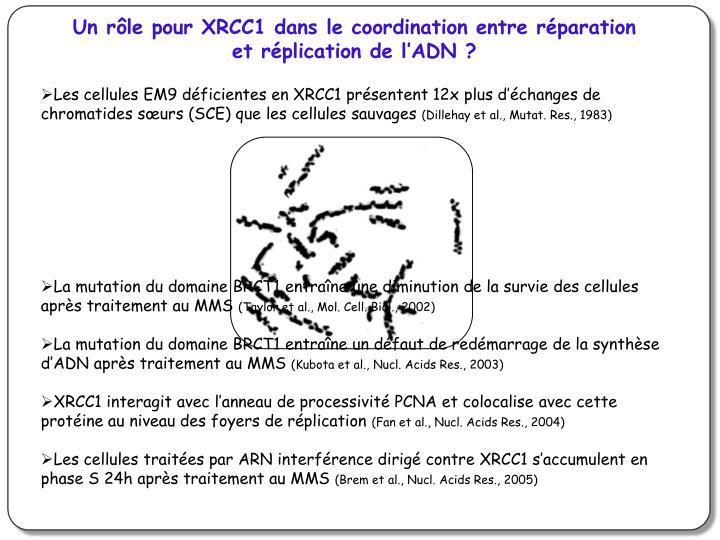 Un rôle pour XRCC1 dans le coordination entre réparation et réplication de l'ADN ?