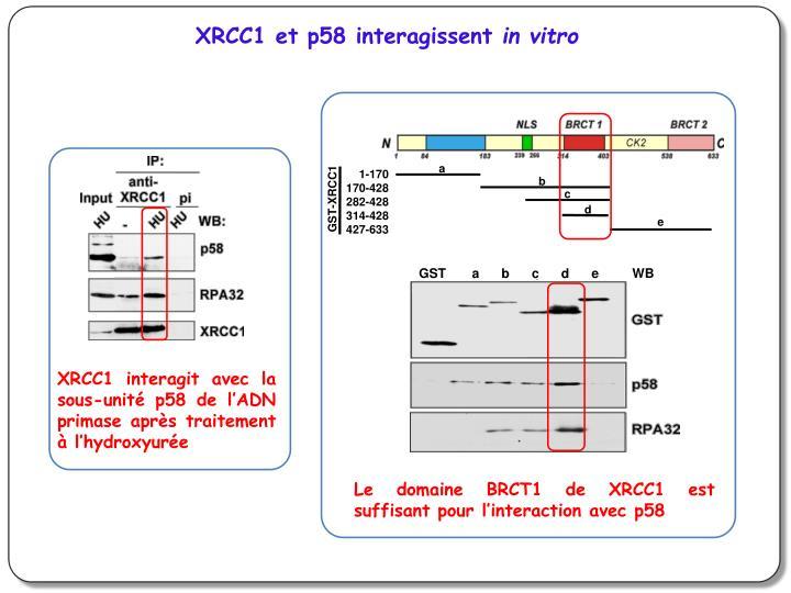 XRCC1 et p58 interagissent