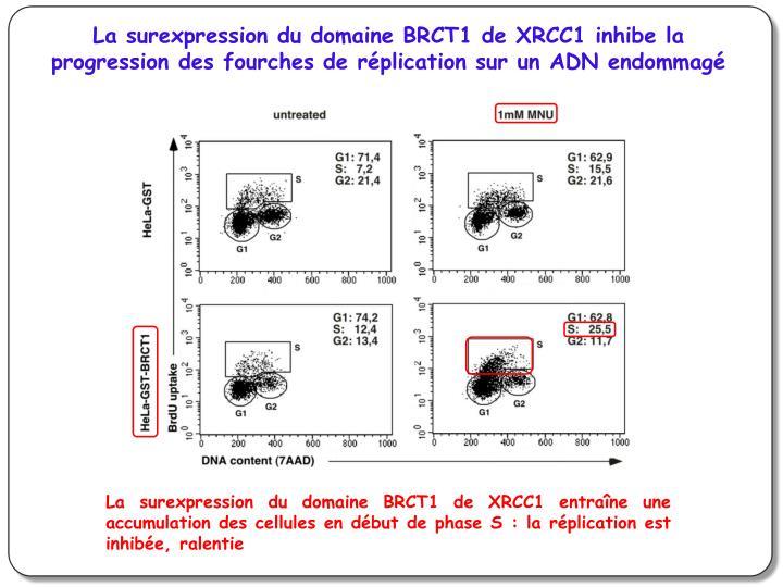 La surexpression du domaine BRCT1 de XRCC1 inhibe la progression des fourches de réplication sur un ADN endommagé