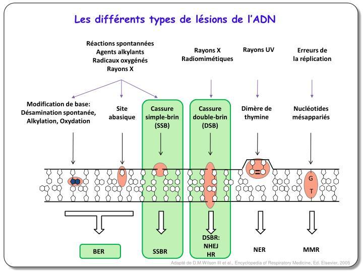 Les différents types de lésions de l'ADN