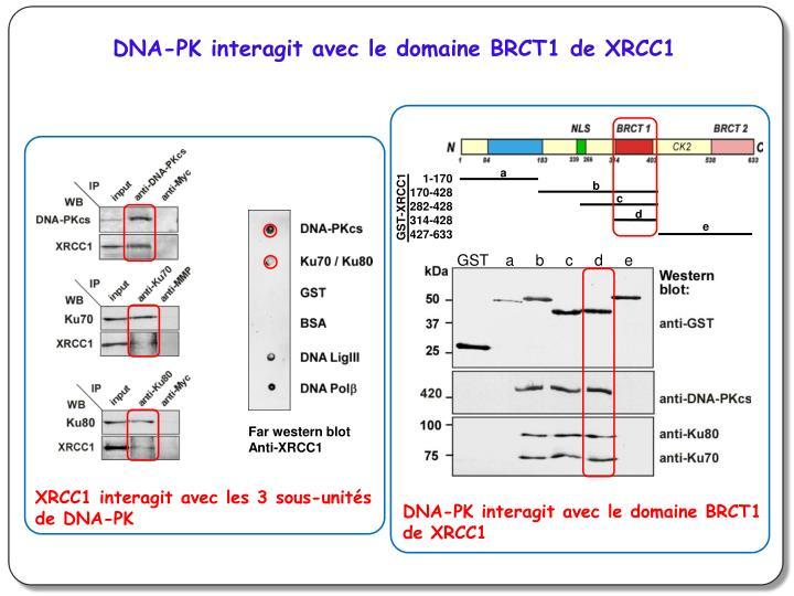 DNA-PK interagit avec le domaine BRCT1 de XRCC1