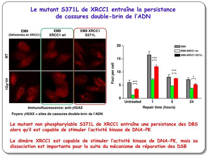 Le mutant S371L de XRCC1 entraîne la persistance de cassures double-brin de l'ADN