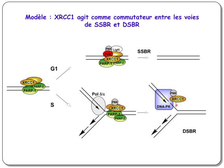 Modèle : XRCC1 agit comme commutateur entre les voies