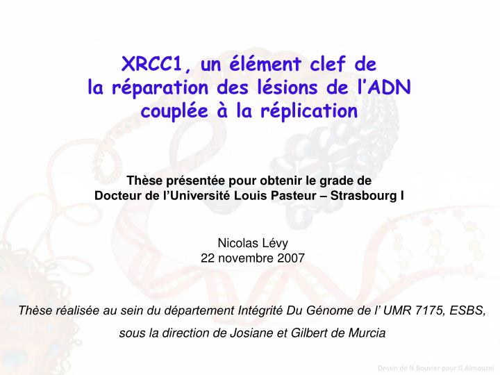 Xrcc1 un l ment clef de la r paration des l sions de l adn coupl e la r plication
