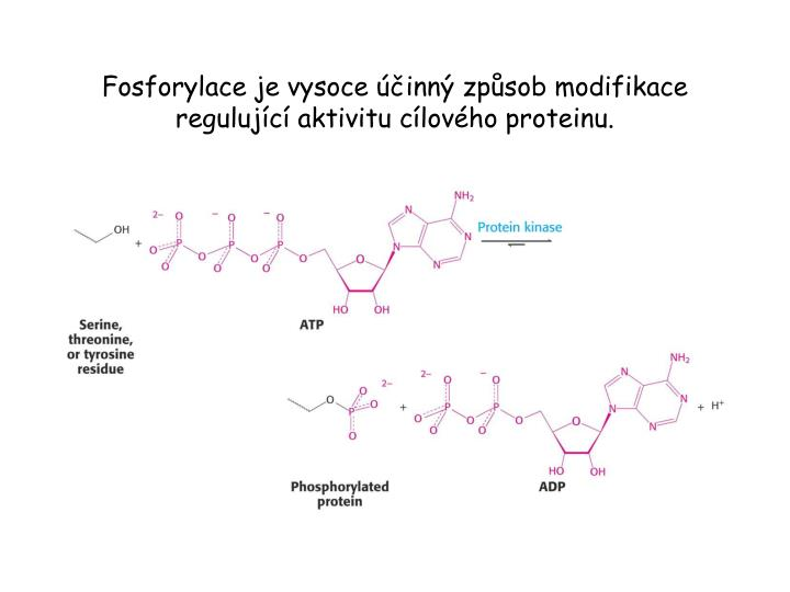 Fosforylace je vysoce účinný způsob modifikace regulující aktivitu cílového proteinu.